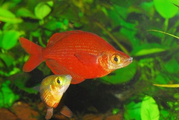 Tami River Rainbowfish (Glossolepis pseudoincisus)