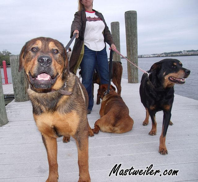 Bull Mastweiler Puppy A Bull Mastweiler Puppy Found In A Car | Dog ...