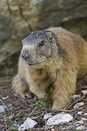 Marmot | Animals - Mammals | Pinterest