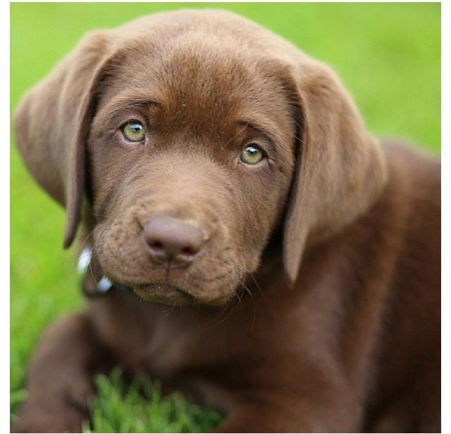 Chocolate Lab Puppies With Green Eyes Green-eyed choco lab puppy