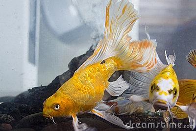 Yellow koi fish fascinating fish pinterest for Yellow koi fish