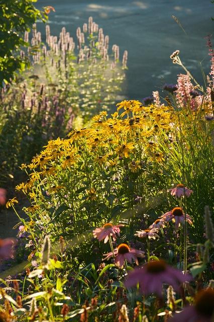 rudbeckia august morning  2000 by sweber4507, via Flickr Rhone Street Gardens