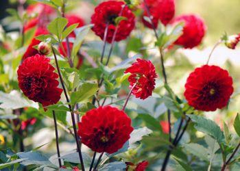 Wisconsin red or heirloom red dahlia flower wish list pinterest - Comment planter des dahlias ...