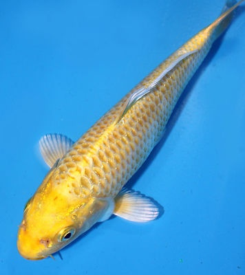 Yamabuki ogon exotic and koi fishes pinterest for Ogon koi fish