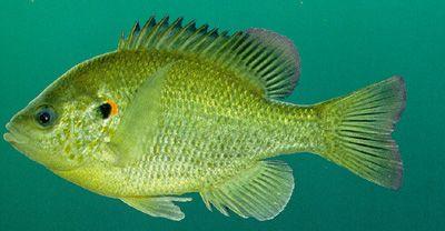REDEAR SUNFISH Fishing Pinterest