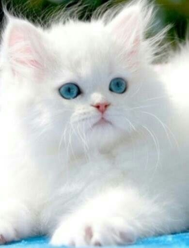 Fluffy White Kitten | wild cats and cute cats | Pinterest
