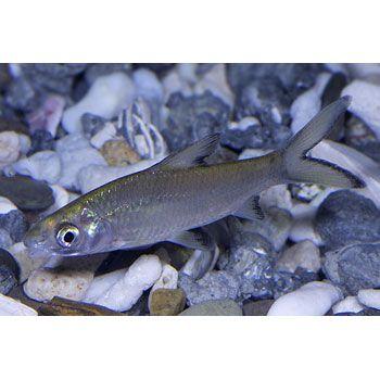 Freshwater fish at petco freshwater pet fish petco pet for Petco tropical fish
