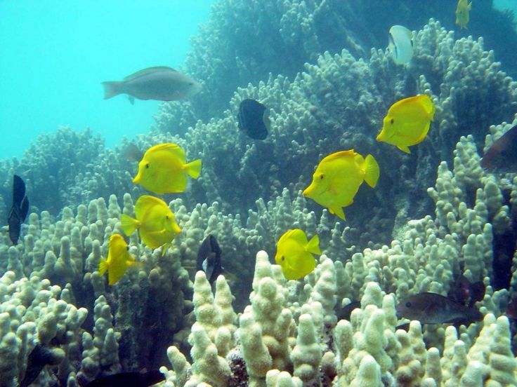 Pin by hawaii picture of the day on hawaii ocean pinterest for Hawaii reef fish