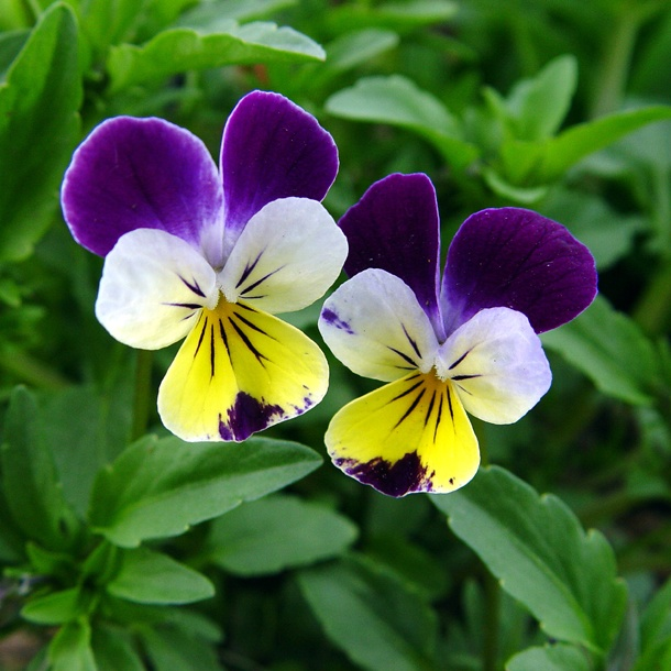 is for Johnny Jump Up  These happy little flowers resemble pansies    Johnny Jump Up Flower Tattoo