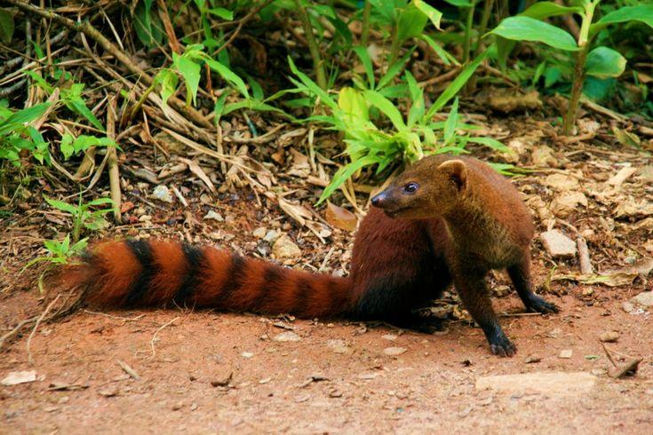 Ring tailed mongoose- Galidia elegansRing Tailed Mongoose