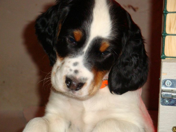 English setter puppy tricolor english settergordon