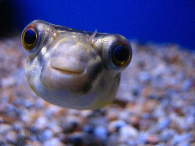 I Love Puffer Fish Adorable Pinterest