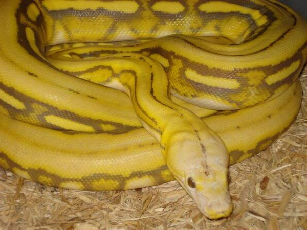 Albino super tiger reticulated python