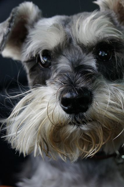 Zefa by Daerson Oliveira miniature schnauzer #dogs