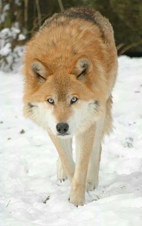 Light brown wolf with blue eyes - photo#28