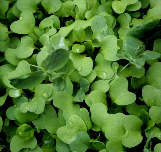how to grow beet microgreens