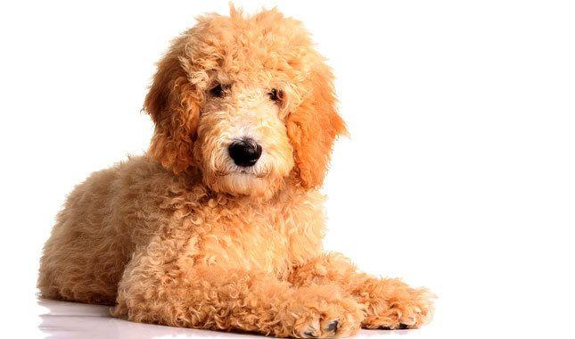 Goldendoodle breed information woman s best friend pinterest