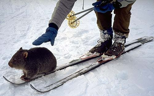 wombat on a ski. amazing.
