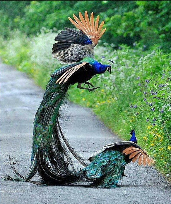 Write my my favorite bird peacock essay