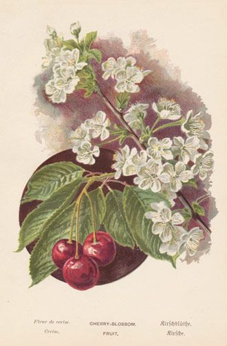 Antique Print of Cherries with Blossom