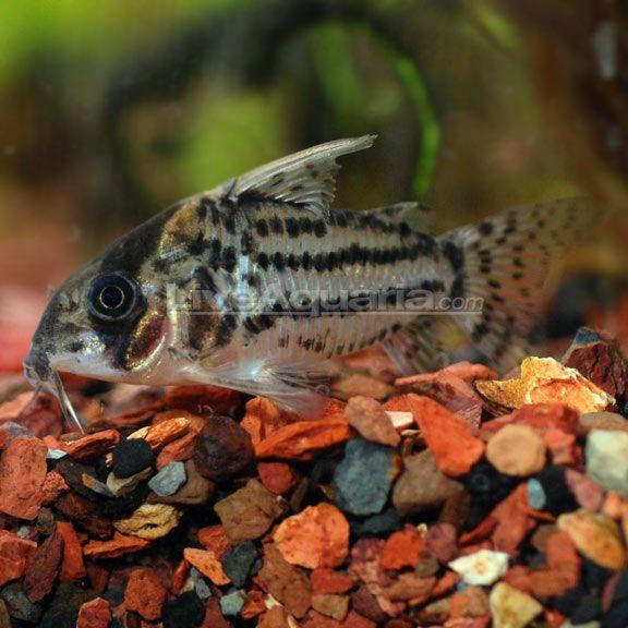 Swartz 39 s cory cat corydoras schwartzi aqua pets for Cory cat fish