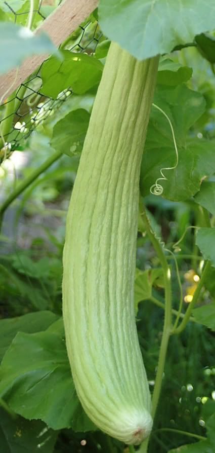 Armenian Cucumber Harvest Time Pinterest