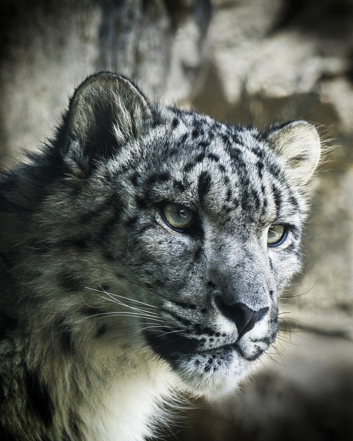Pin Snow Leopard Pictures To Pin On Pinterest Tattooskid