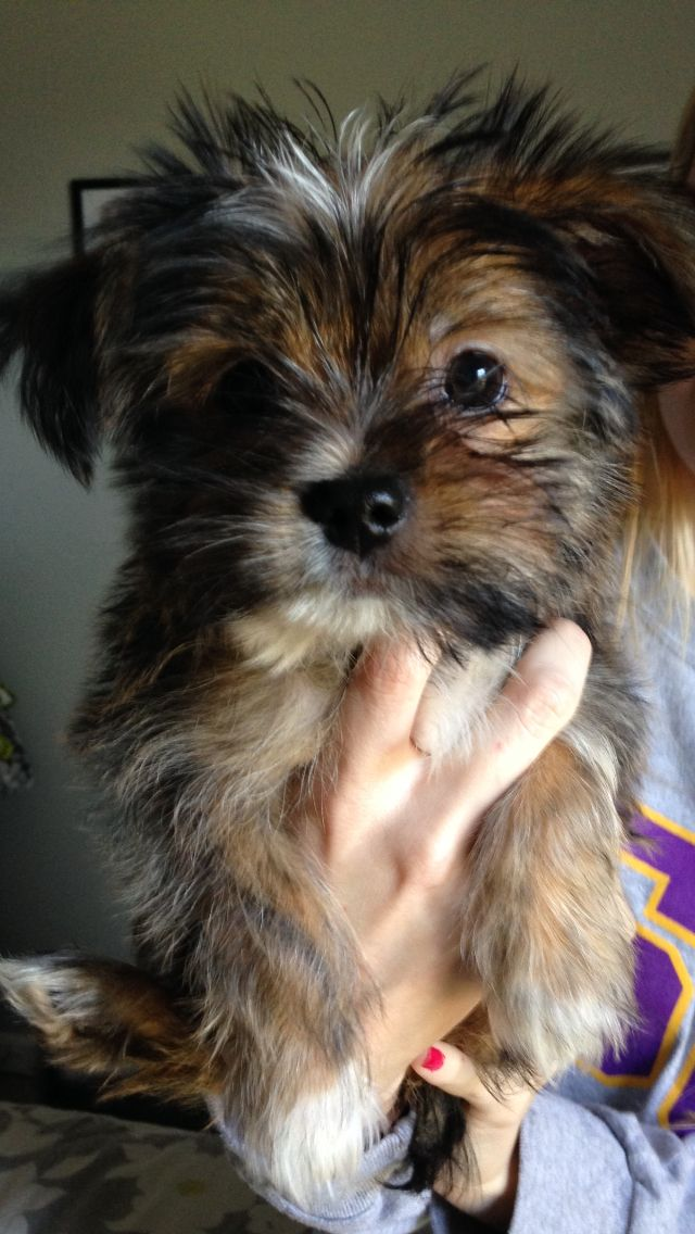 Shih Tzu Yorkie Mix | Animals🐒 | Pinterest