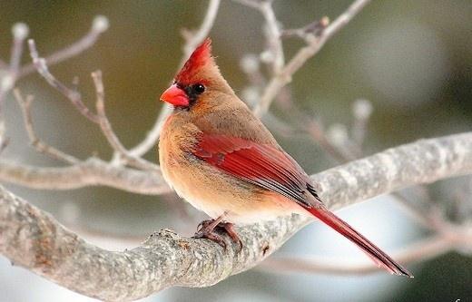 Miss Cardinal
