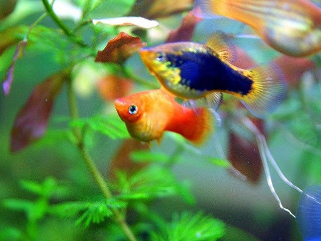 platies freshwater fish for beginners tropical fish