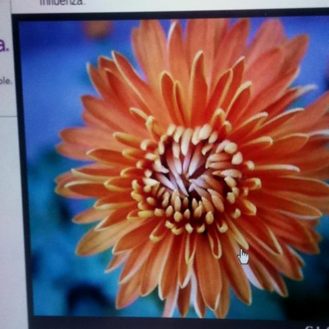 November Birthday Flower Tattoo The