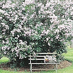 Old fashioned lilac garden goodies pinterest