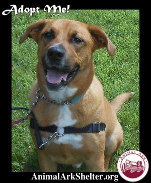 Stan Male Boxer/German Shepherd Dog | Dogs Rule- Cats Drool!!