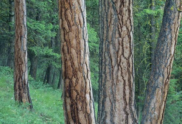 Ponderosa Pine Trees : Sample description 03 (Photo Credit: John and Lisa Merrill/Corbis)