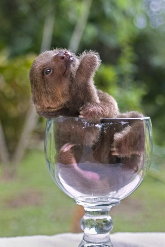Sloth in wine glass. Too much.