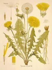 Dandelion: (my most abundant crop)