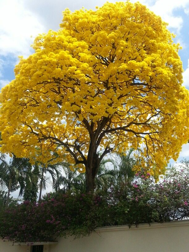 Tree in panam called guayacan welcome to panama for Arboles florales para jardin