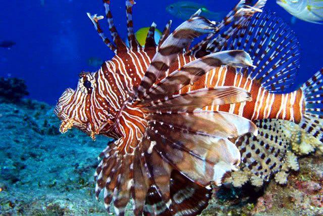 Lion fish creatures underwater fish pinterest for Sea water fish