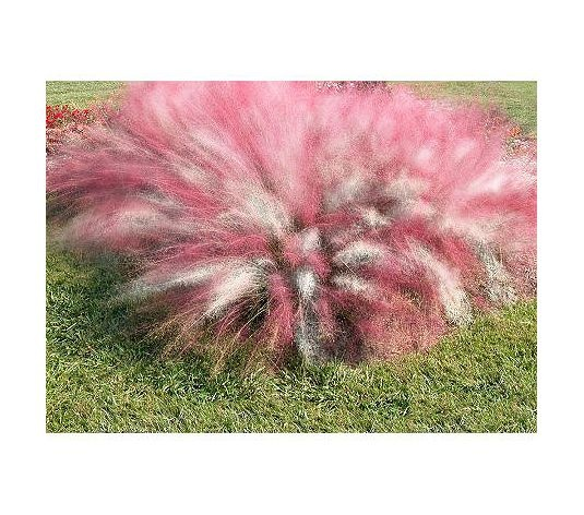 Love this cotton candy ornamental grass!