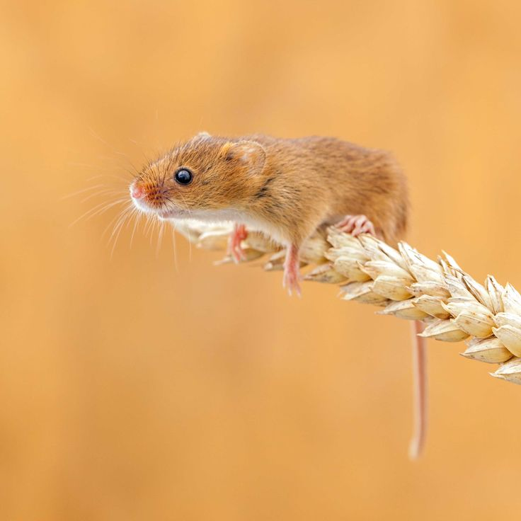 Field mouse animal - photo#10