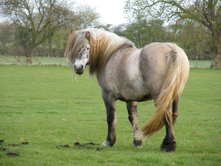 Highland Pony Horses Little People Pinterest