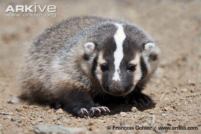 Baby Badger!!!!! | animals | Pinterest - 57.6KB