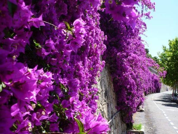 bougainvillea bougainvillea wall | garden ideas | Pinterest