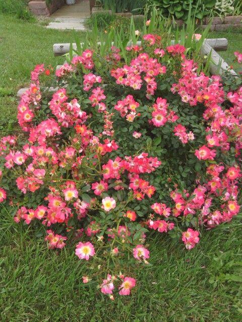 Pink Drift 174 Roses Drift 174 Groundcover Roses Pinterest