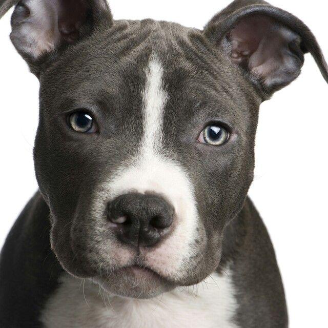blue nose pitbull | My Style | Pinterest