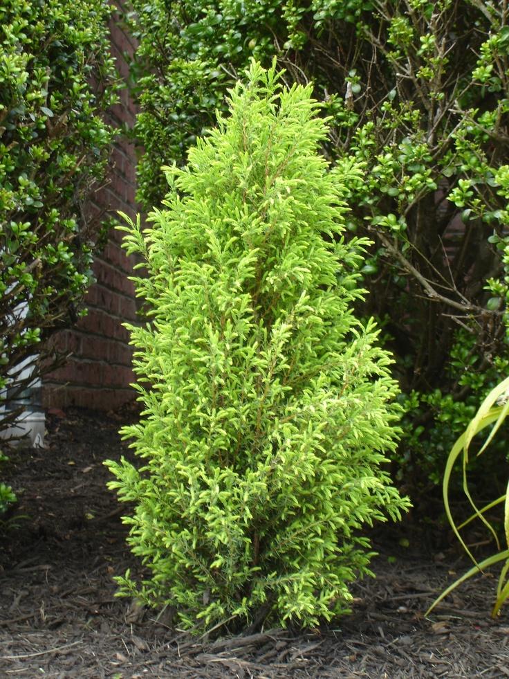 Juniper Gold Cone Garden Plants For 2014 Pinterest