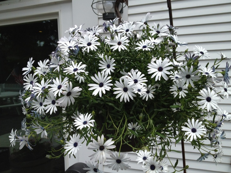 Beautiful daisies with blue middles.  chatham, cape cod, ma