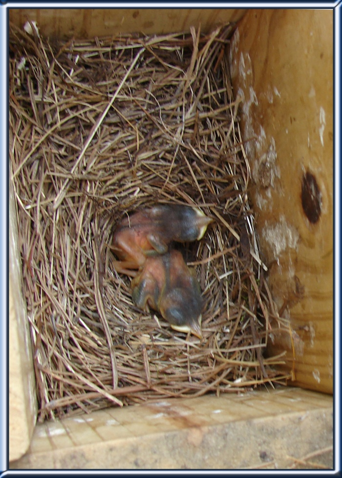 American Robin Life History, All About Birds, Cornell Lab ...