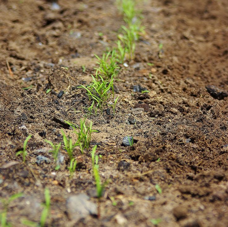 Carrot Shoots With Wood Ash For Your Garden Pinterest