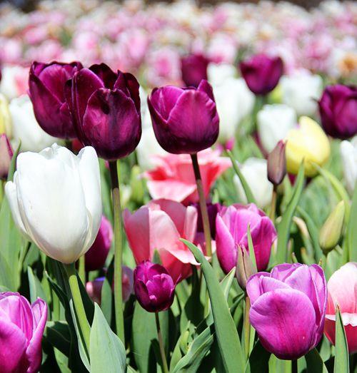 Purple-and-White-TulipsPurple And White Tulips